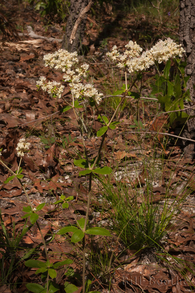 Dogtongue Wild Buckwheat