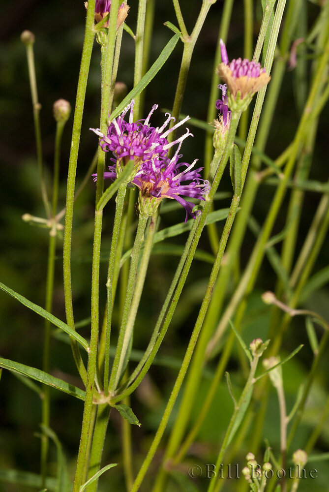 Blodgett's Ironweed