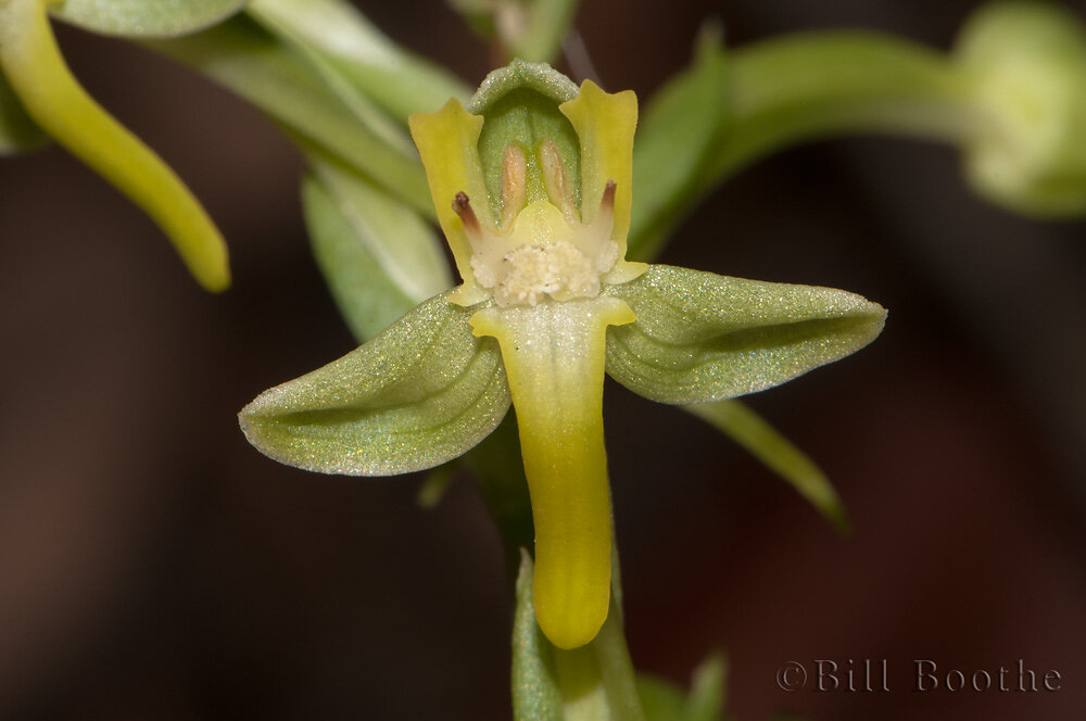 Toothpetal False Reinorchid