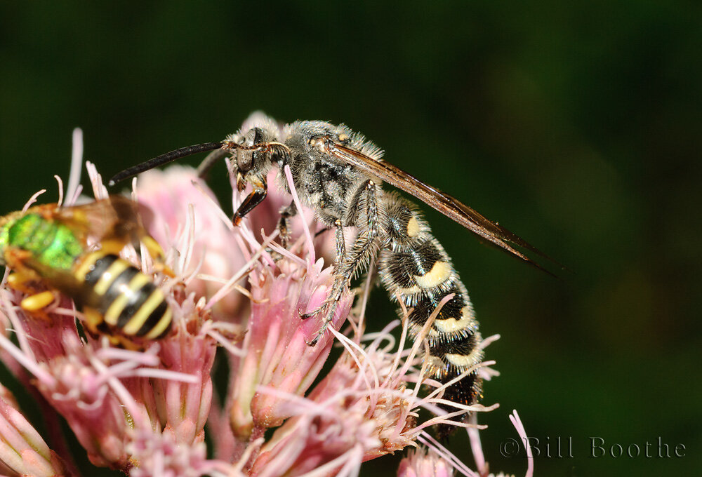 Scolid Wasp