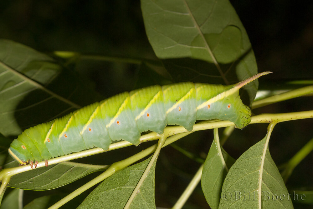 Waved Sphinx Caterpillar