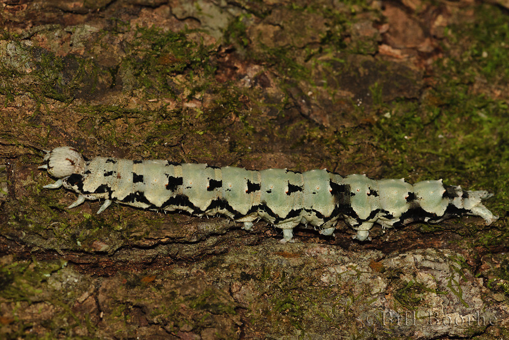 Ilia Underwing Moth Caterpillar (Lichen Form)