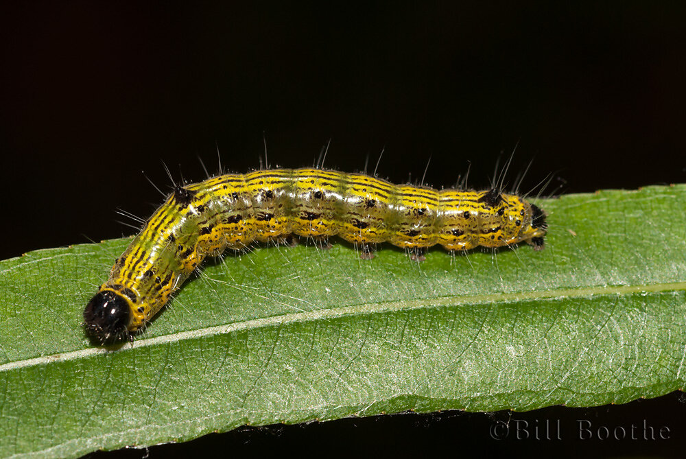 Angle-lined Prominent Moth Caterpillar
