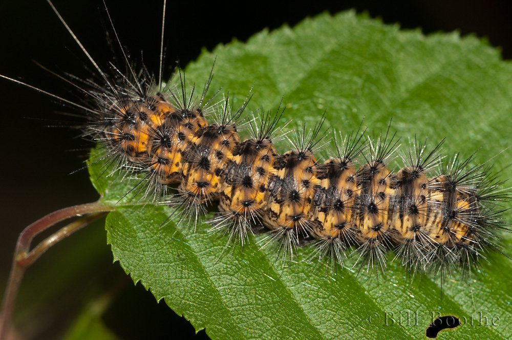 Agreeable Tiger Moth Caterpillar