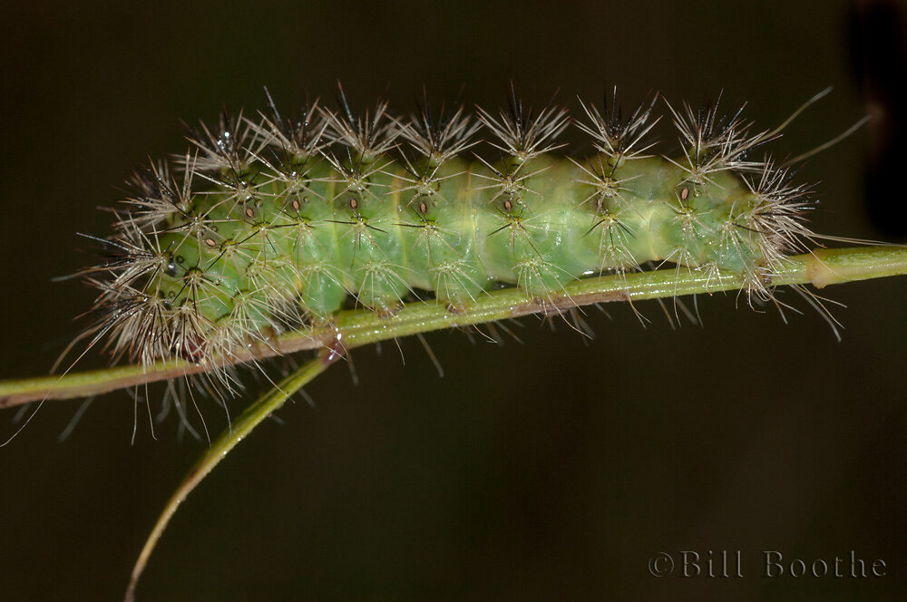 Pointed Dagger Moth Caterpillar