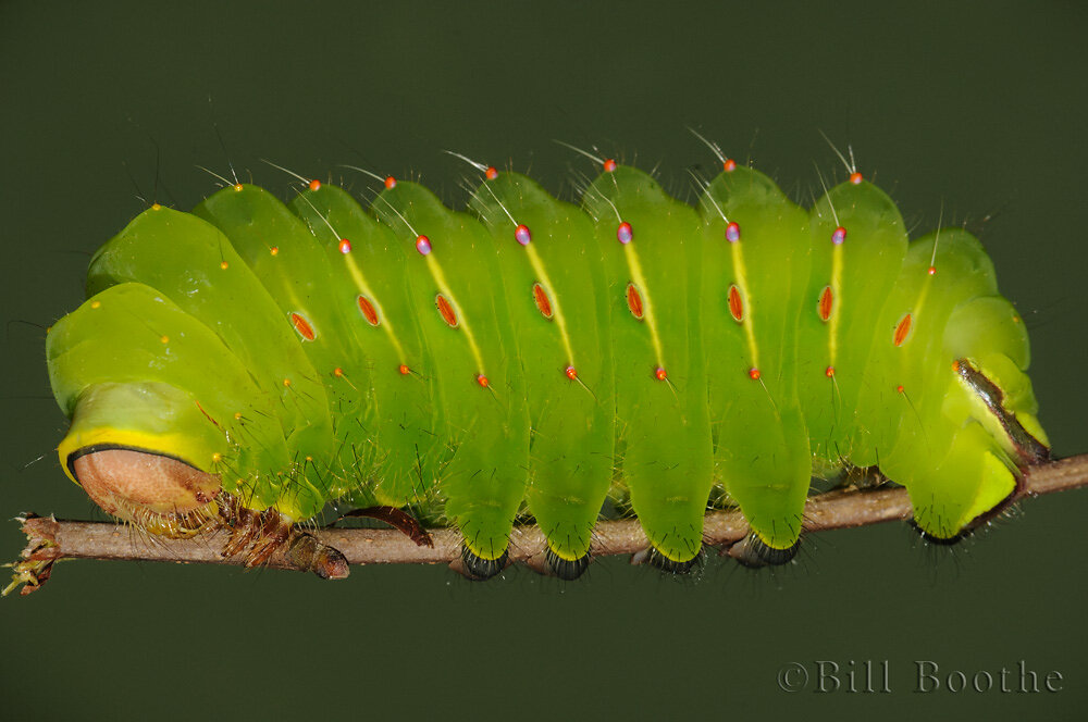 Polyphemus Moth Caterpillar
