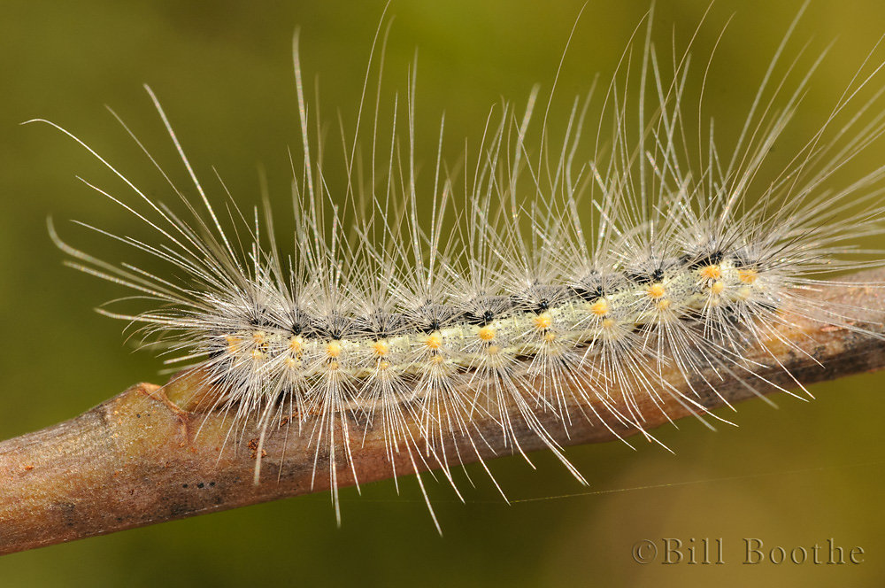 Fall Webworm Moth Caterpillar
