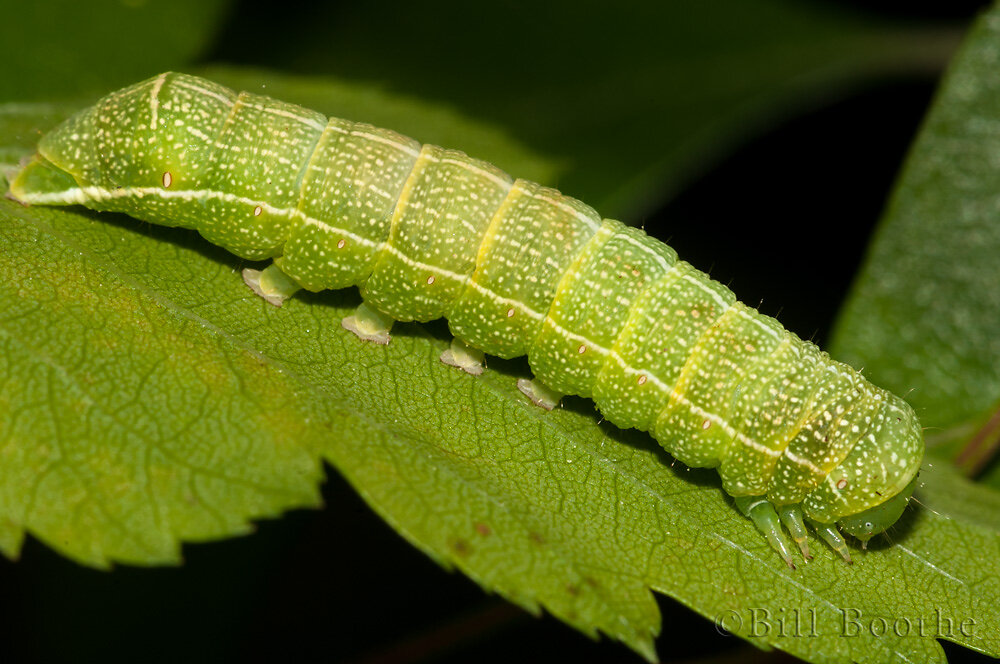 Speckled Green Fruitworm Moth Caterpillar