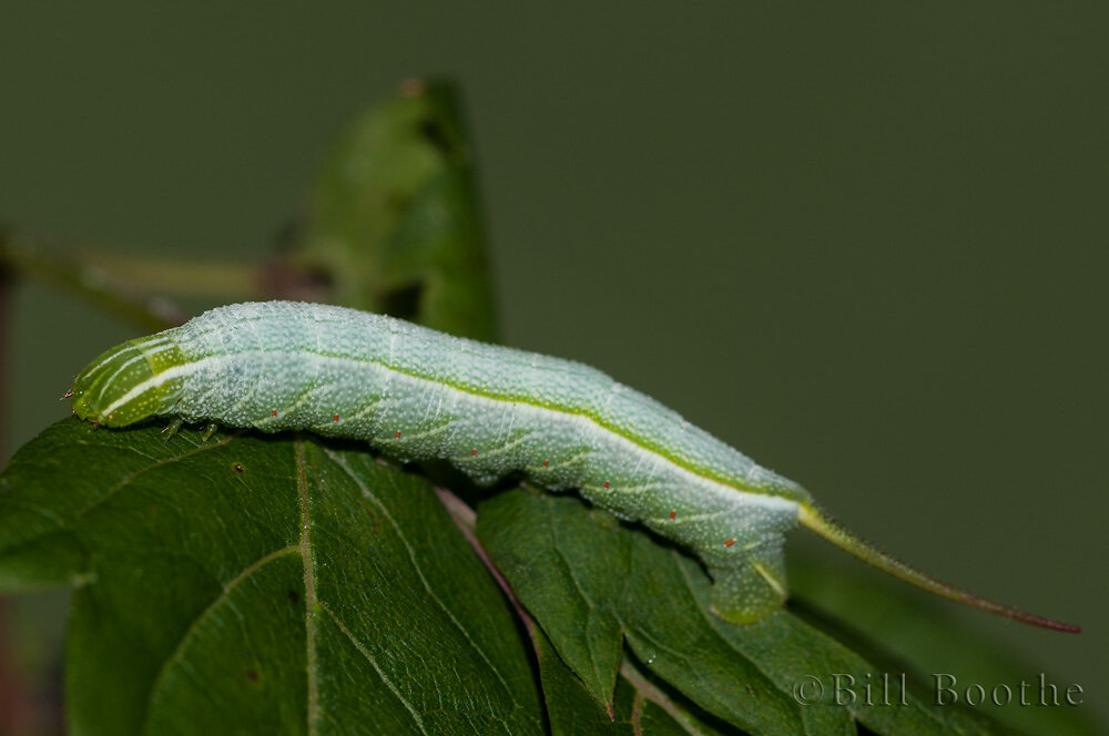 Mournful Sphinx Moth Caterpillar