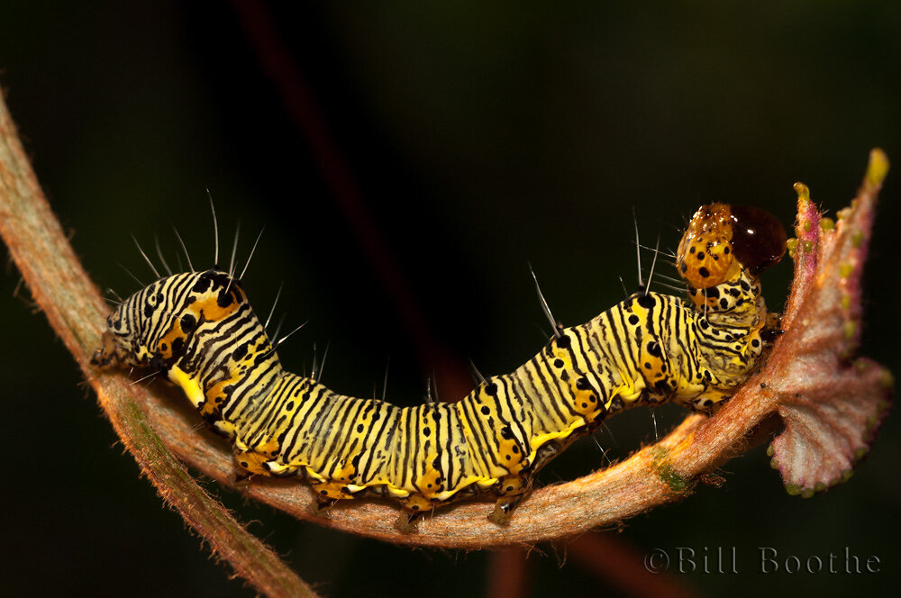 Eight-spotted Forester Moth Caterpillar