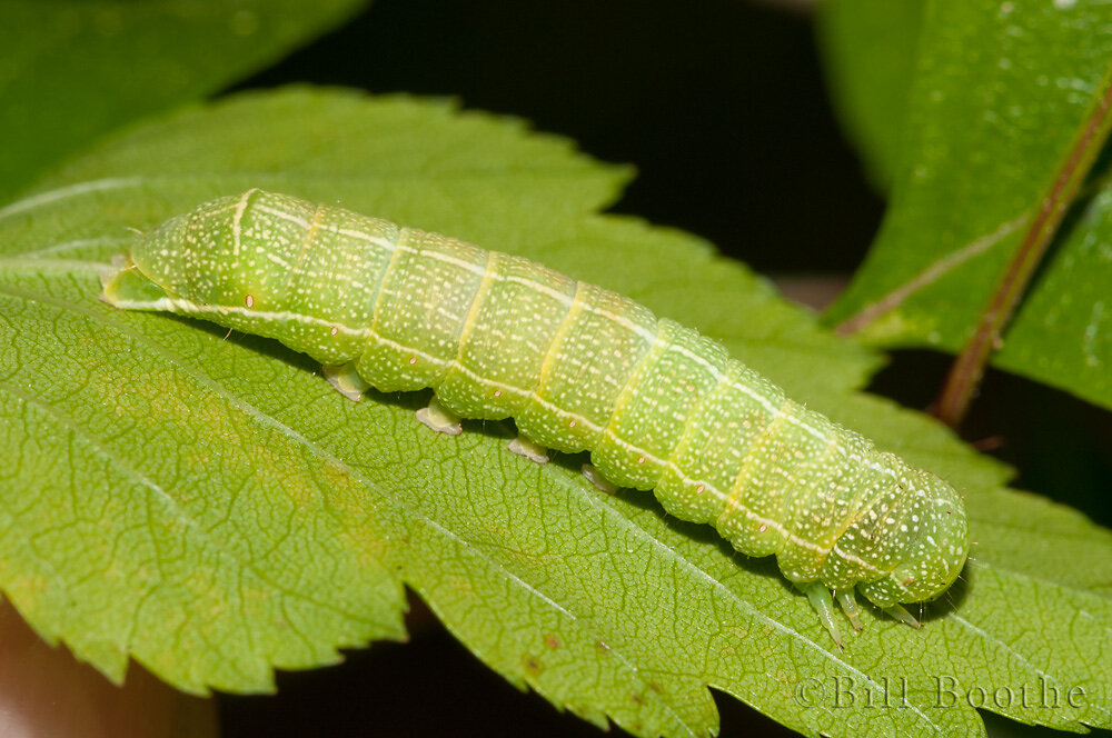 Gray Quaker Moth Caterpillar
