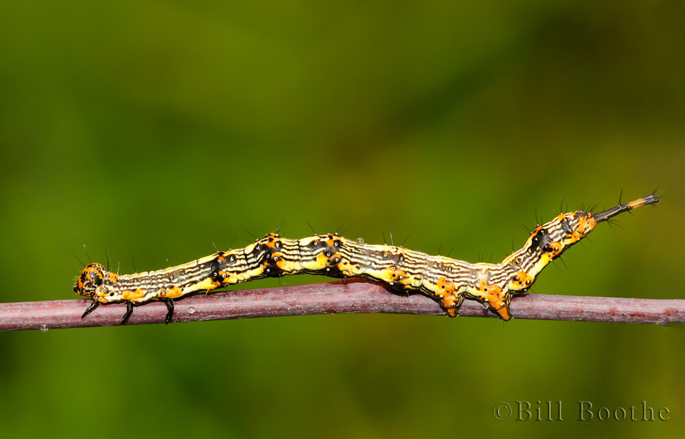 Pale-edged Selenisa Moth Caterpillar