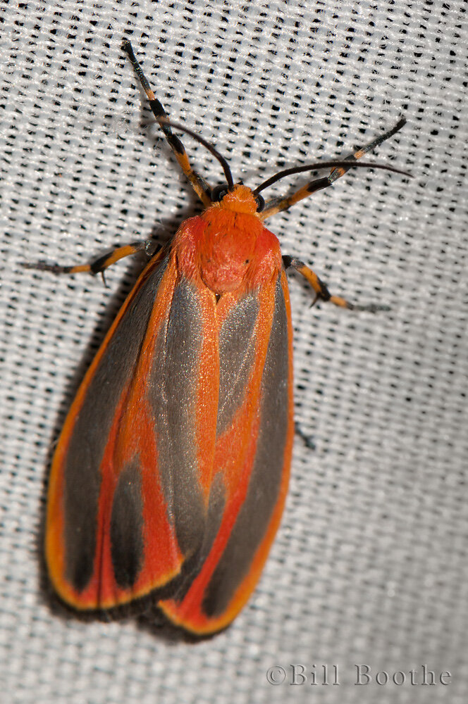 Scarlet-Winged Lichen Moth