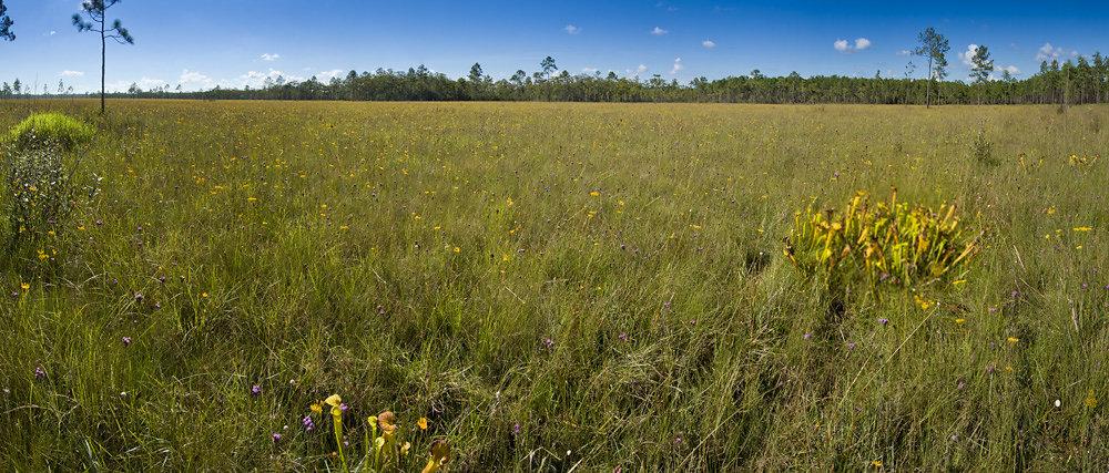 Panorama of Pitcherplant Savanna