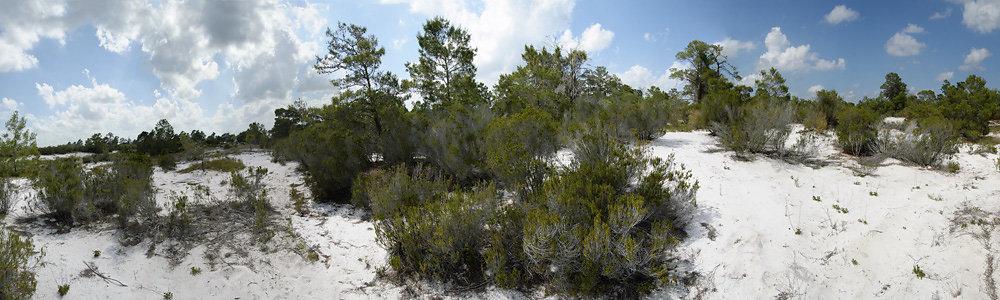 Panorama of Rosemary Scrub