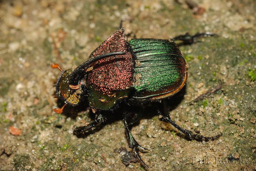 Green Dung Beetle
