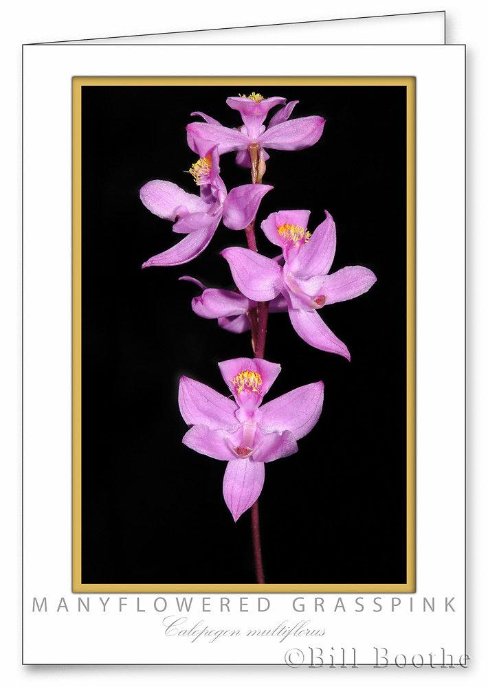 Manyflowered Grasspink Orchid