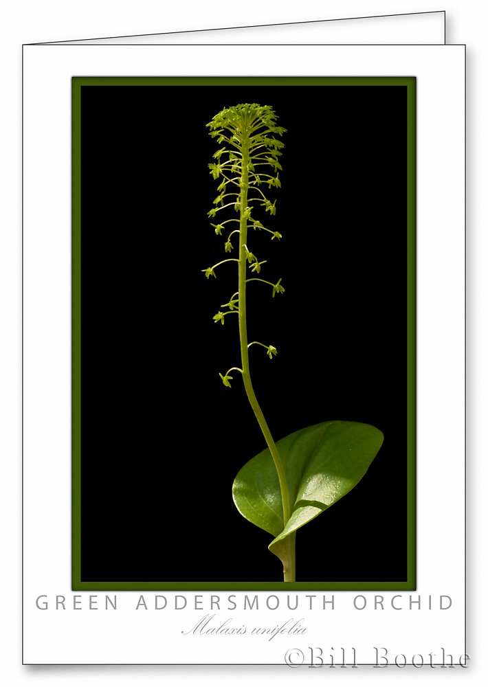Green Addersmouth Orchid