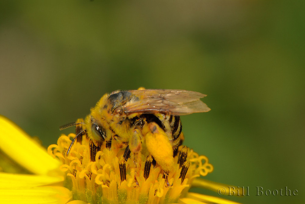 Megachilidae Bee