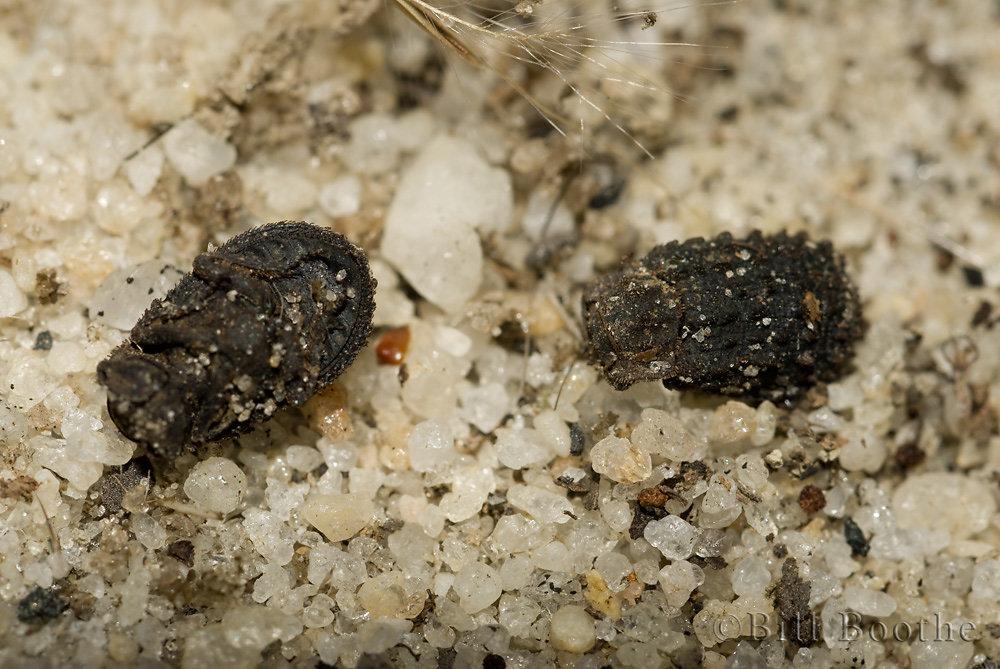 Hide Beetles