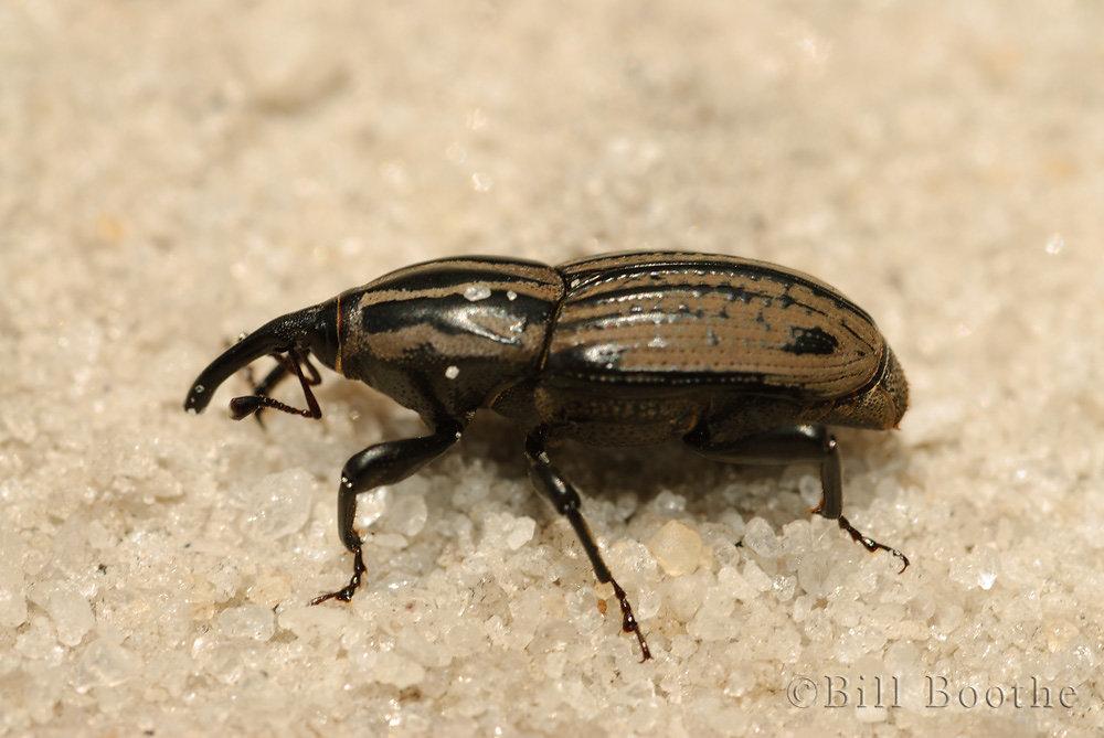 Billbug Weevil