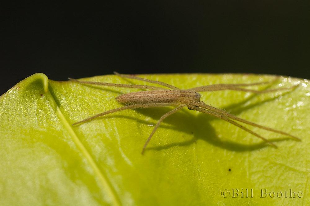 Slender Nursery Web Spider