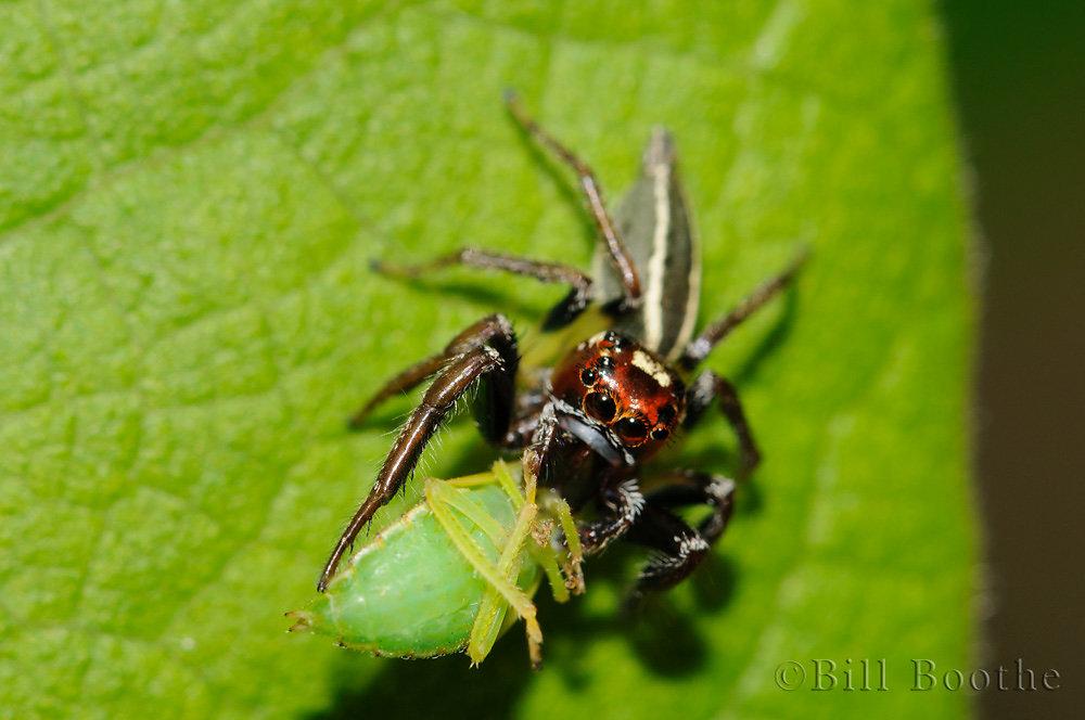 Male Wodland Jumpiing Spider