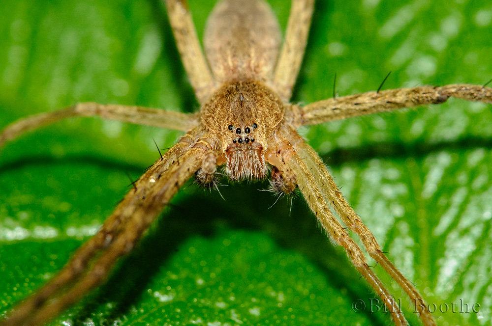 Male Nursery Web Spider