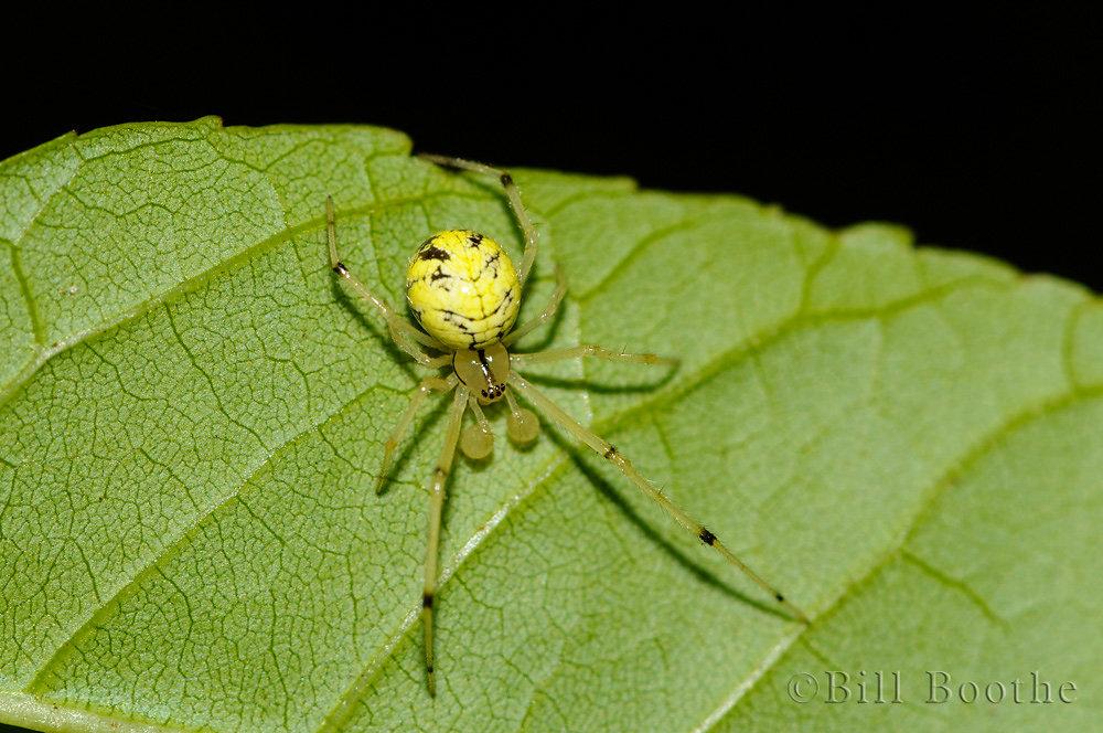 Leafy Cobweb Weaver Spider