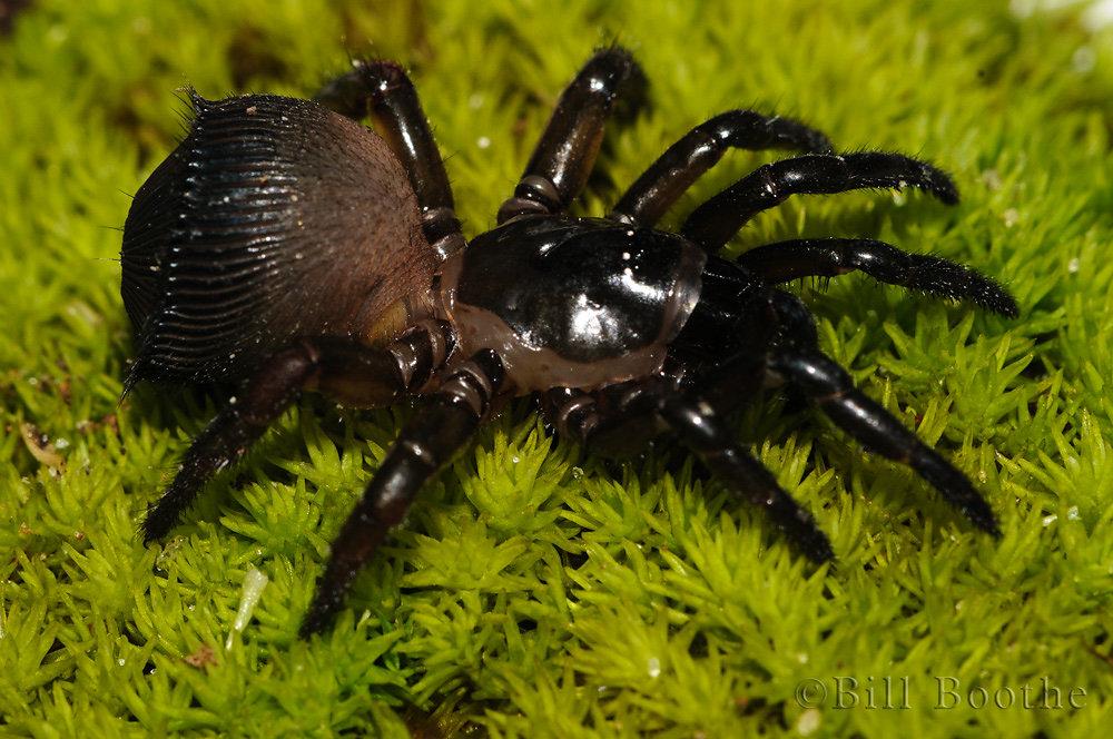 Torreya Trap-door Spider