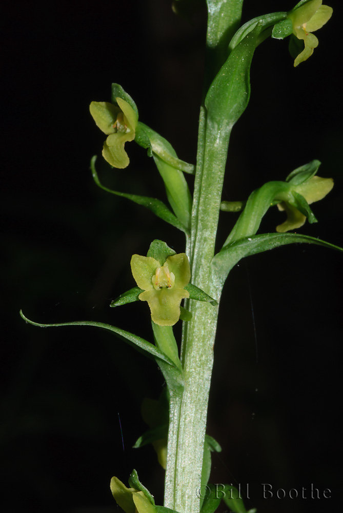 Palegreen Orchid