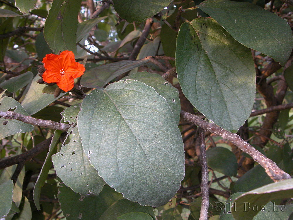 Largeleaf Geigertree