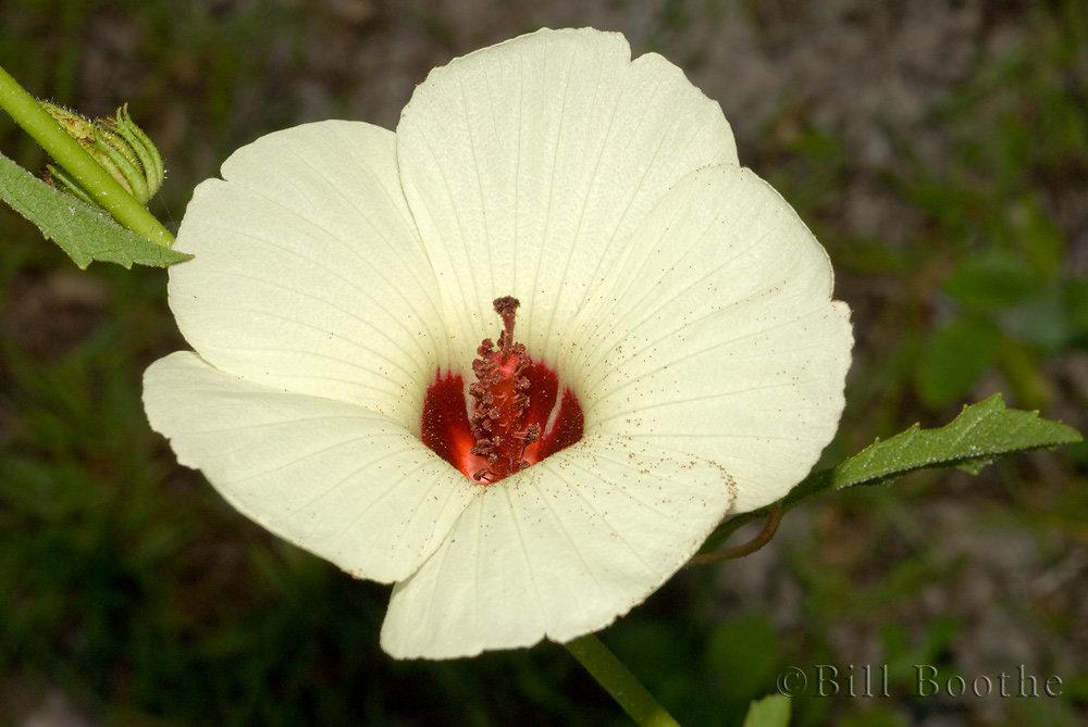 Pineland Hibiscus