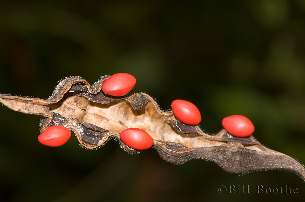 Coralbean Seeds