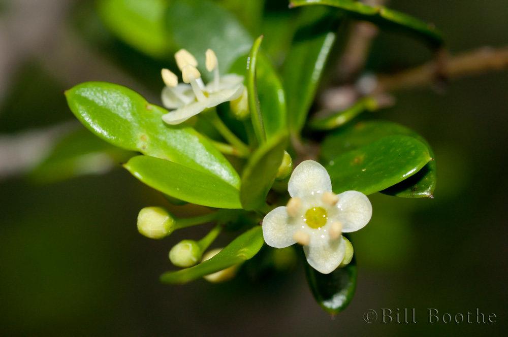 Myrtle Dahoon Flowers