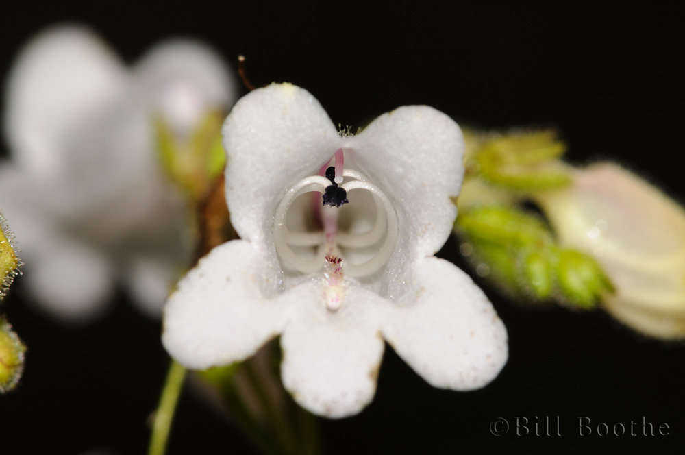 Manyflower Beardtongue