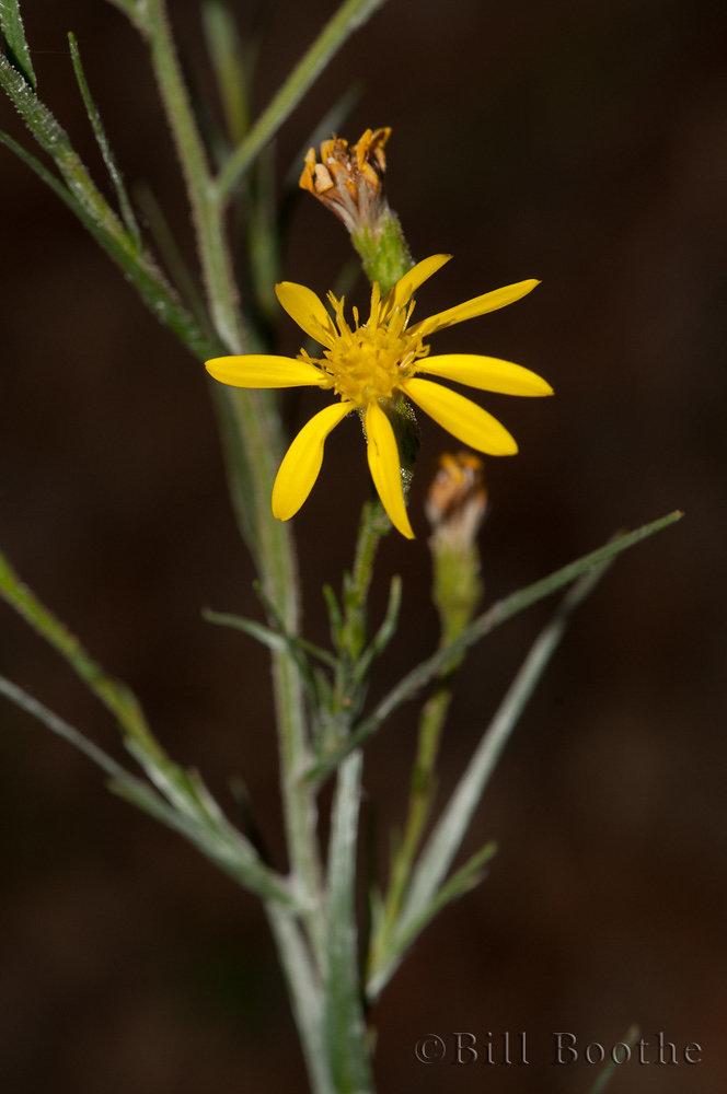 Pineland Silkgrass