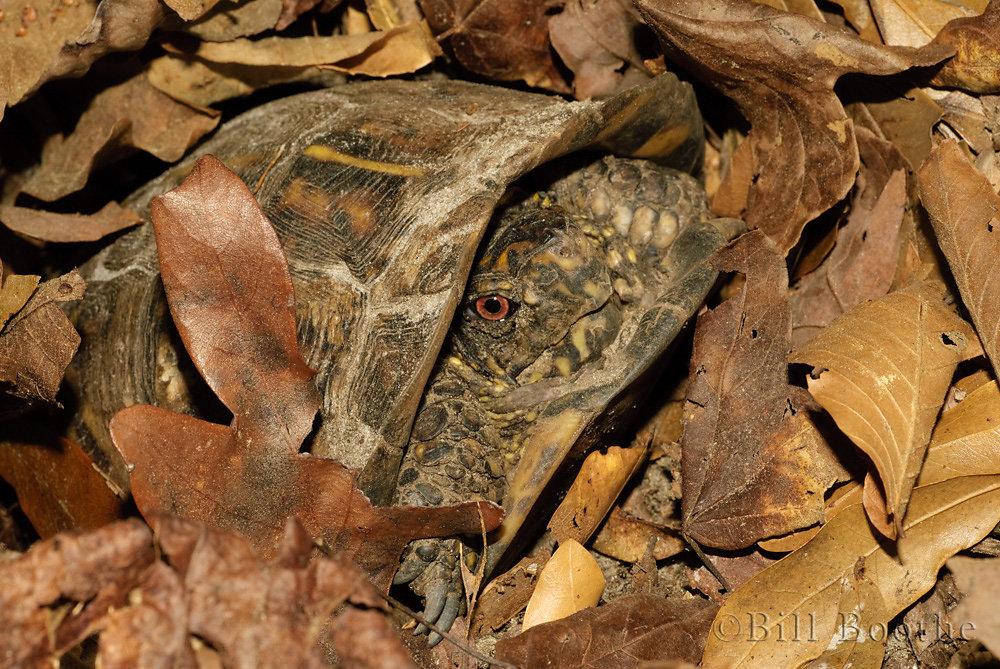 Male Box Turtle