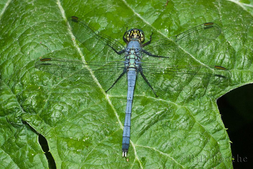 Male Eastern Pond Hawk Dragonfly