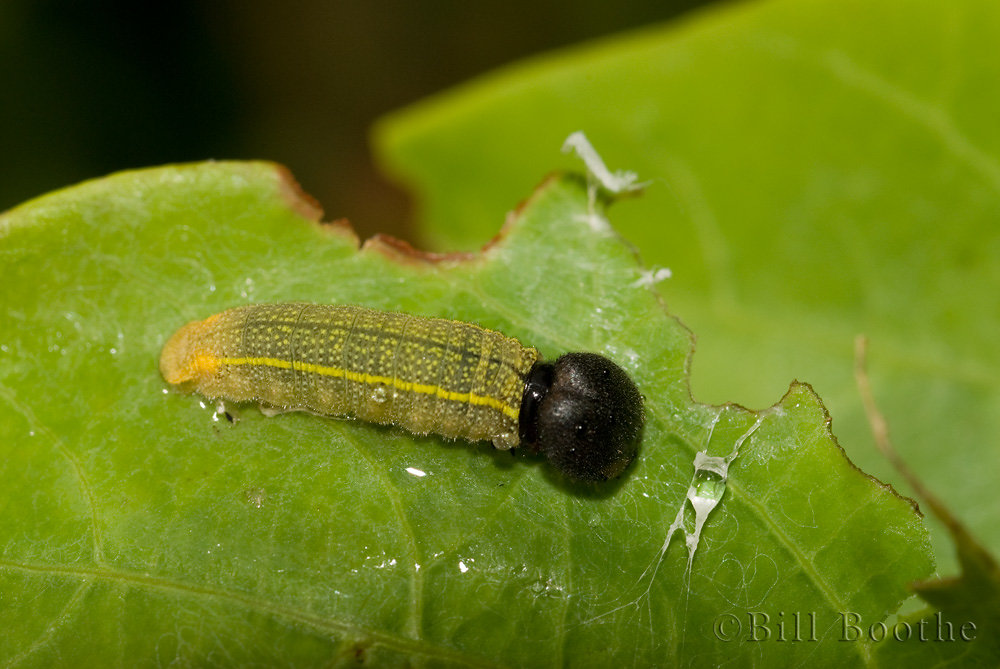 Hoary Edge Caterpillar