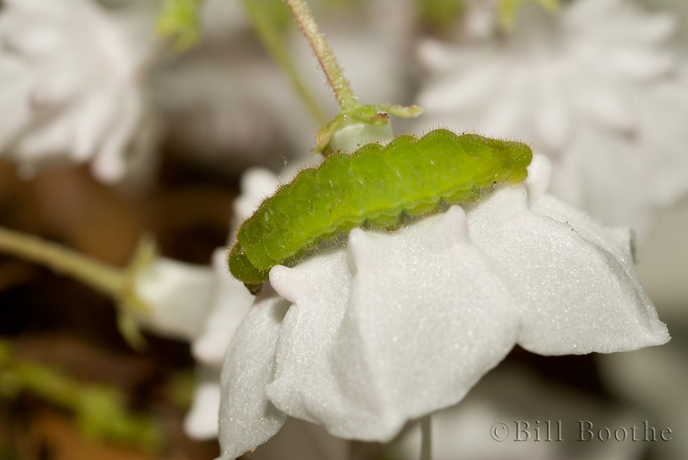 Brown Elfin Caterpillar
