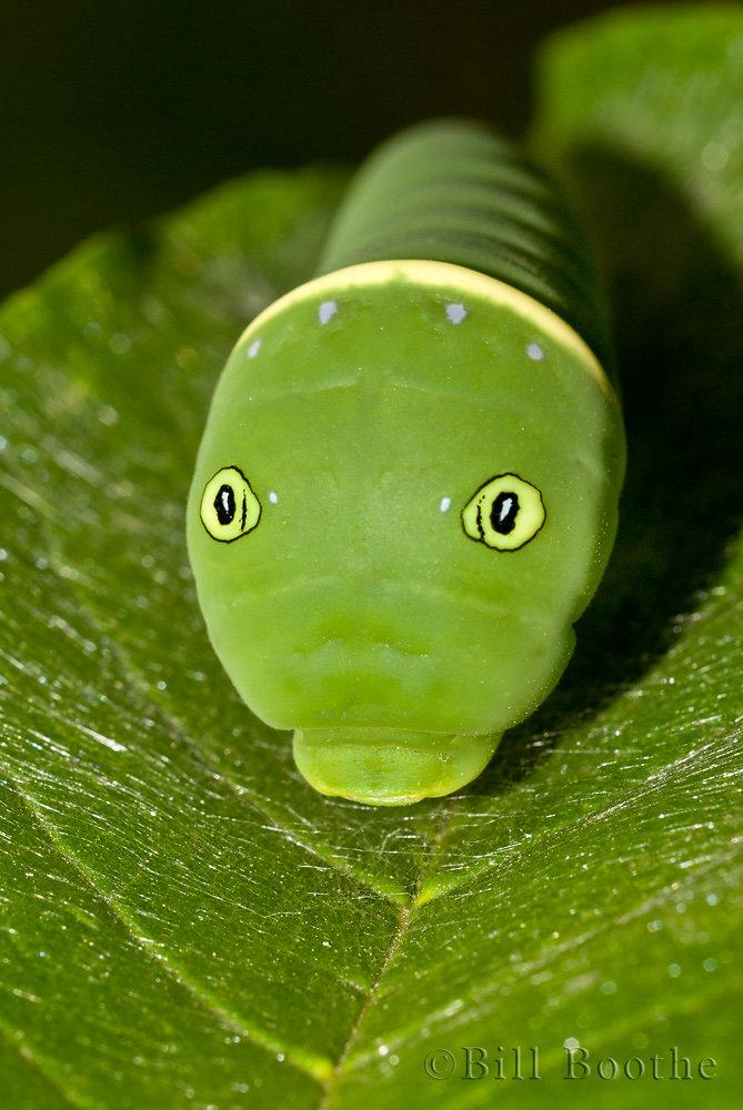 Tiger Swallowtail Caterpillar