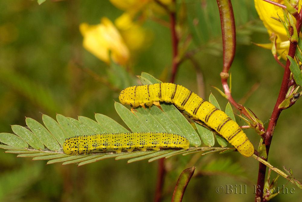 Cloudless Sulphur Caterpillars