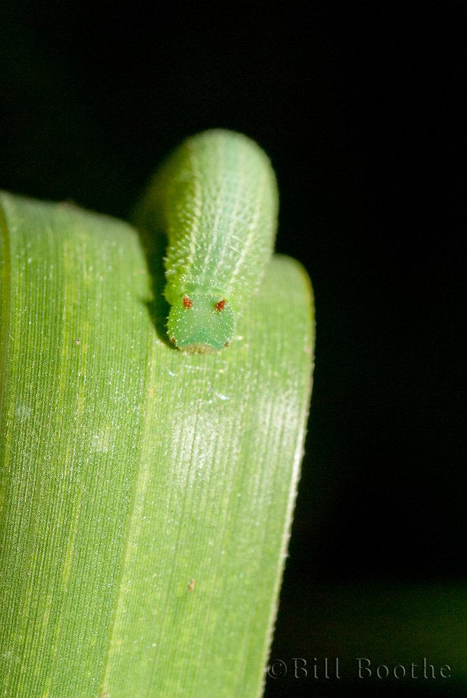 Southern Pearlyeye Caterpillar