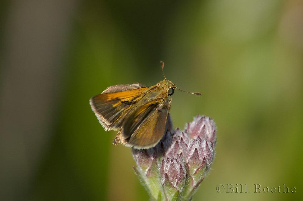 Male Tawny-edged skipper