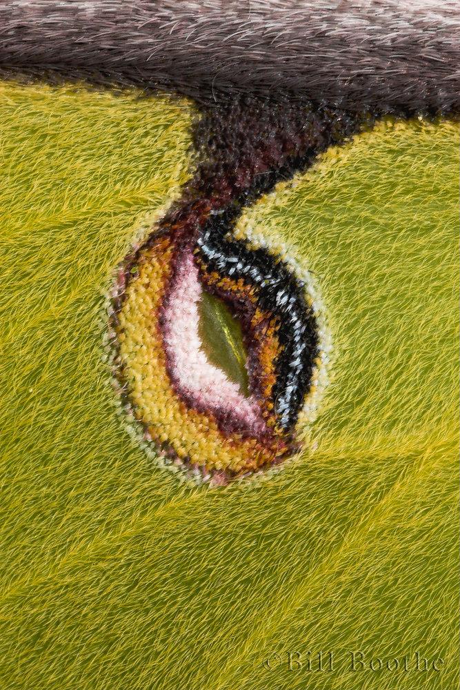 Luna Moth Eye