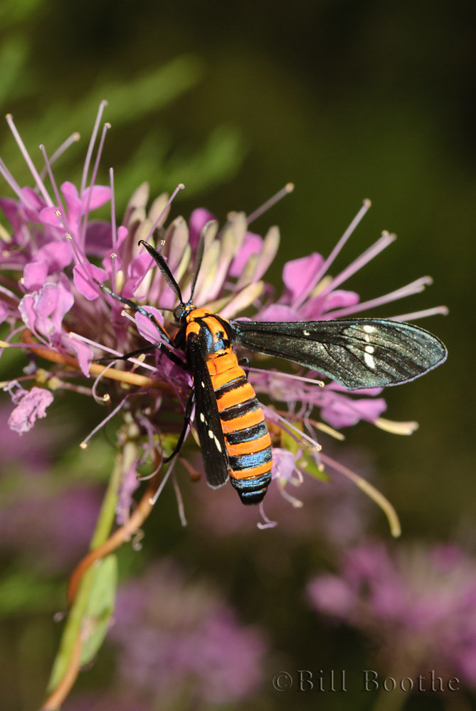 Yellow-banded Wasp Moth