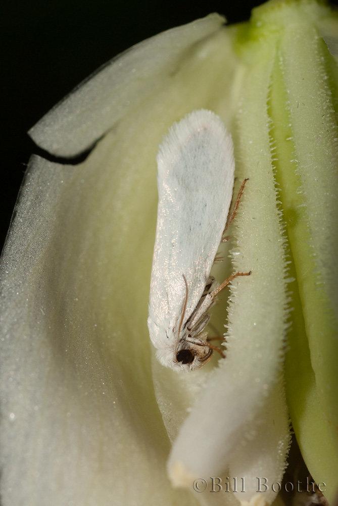 Yucca Moth or Bogus Yucca Moth in Yucca Flower