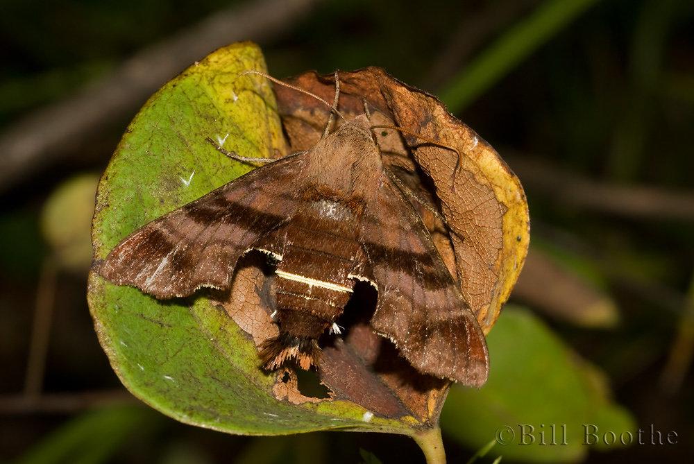 Nessus Sphinx Moth