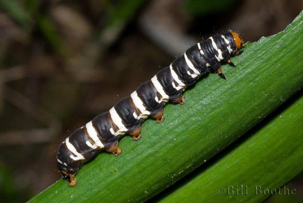 Convict Moth Caterpillar